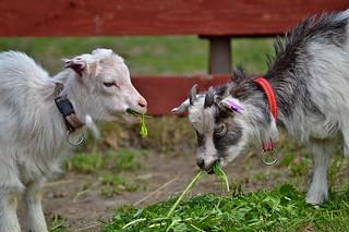 Happy Fence Friday! HFF! :))  Goat kids.