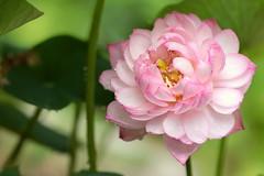 Lotus flower (miwa kai) Tags: life summer flower macro green nature water lotus jun