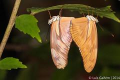 Dryas iulia (Fabricius, 1775) (Lus Gaifm) Tags: macro butterfly butterflies lepidoptera caterpillar borboleta mariposas jlia schmetterlinge vlinders papillons  farfalle dryasiulia juliabutterfly  motyle fjrilar  sommerfugle firildi fluturi sommerfugler  kelebekler perhosia liblikad motle drugeliai metulji pillangk  taurii   lusgaifm borboletriodeconstncia