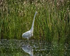Surreptitious (jmishefske) Tags: park county june wisconsin pond nikon state great area recreation bong egret kenosha 2015 d800e