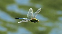 Make way for the Emperor... (BIKEPILOT) Tags: blue male green nature animal fauna insect flying wings dragonfly wildlife flight hampshire farnborough emperor eelmoorbridge