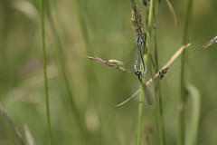 White-legged Damselfly_1106 (paulhunterhiggins) Tags: insect damselfly oxfordshire whiteleggeddamselfly thrupp damsellefly