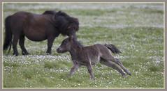 _9556 Shetland Foal (Dave @ Catchlight Images) Tags: nature canon islands sigma pony shetland foal