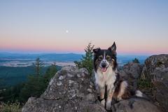 All smiles on Spencer's Butte (Justin Knott) Tags: sunset dog nikon collie butte border eugene 24mm spencers aussie d600 rokinon