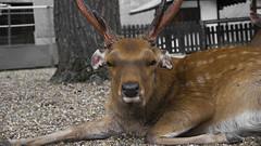 Old Deer (Filipe Madureira) Tags: park old cute animals deer aww nara deers
