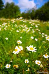 Champs_de_Marguerites (Saydryk Photography) Tags: white flower nature fleur field grass yellow jaune champs marguerite blanc herbe