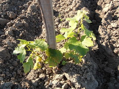 "New Sauvignon Vine at Levin Oisly Vineyard • <a style=""font-size:0.8em;"" href=""http://www.flickr.com/photos/133405556@N08/19890977700/"" target=""_blank"">View on Flickr</a>"
