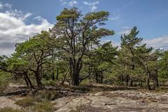 Dancing Pines (bjorbrei) Tags: trees sky green norway rock forest pines fredrikstad rødsåsen