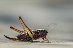 Art Deco Cricket (mech style) (shaftina©tion) Tags: insect artdeco thursley digitallyaltered bogbushcricket metriopterabrachyptera farnfield shaftinaction shaftina©tion