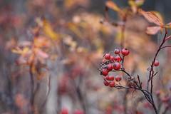 Autumn Colors (JPShen) Tags: berries red bokeh orange color autumn plant nature