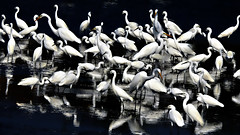 DSCN0776 Grouping Egrets (tsuping.liu) Tags: outdoor blackbackground birds nature natureselegantshots naturesfinest nationalpark ecology ecotour grouping gather