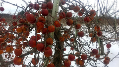 Snow Apples (Craig James White) Tags: canada ontario brucecounty saugeenshores portelgin winter snow orchard apples