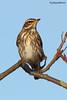 Redwing, Turdus iliacus (Midlands Reptiles & British Wildlife Diaries) Tags: turdus iliacus redwing british birds ornithology garen david nixon photography fauna forest ecology ltd winter season seasons seasonal stokeontrent staffordshire