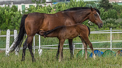 Chevaux (marcol-04) Tags: alpesdehauteprovence france provencealpescotedazur saintetulle cheval provencealpescôtedazur fr zd zuikodigital olympus omdem1 m40150f28 chevaux animal
