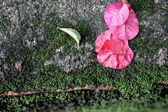 Pétala, folha e musgo (Johnny Photofucker) Tags: pétala musgo moss lightroom macro poesia poetry detalhe detail detaglio folha leaf foglia