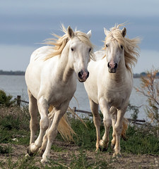 2016 Two Camargue Stallions (37) (maskirovka77) Tags: saintlaurentdaigouze languedocroussillonmidipyrén france languedocroussillonmidipyrénées fr stallion stallions whitehorse whitehorses whitestallion whitestallions createaway photoworkshop