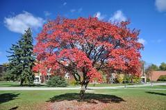 Specimen Planting (cmu chem prof) Tags: mountpleasant isabellacounty michigan centralmichiganuniversity autumn fallcolor circularpolarizer