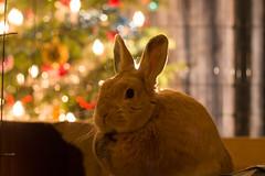 Prettige Kerst! (hans s) Tags: christmas 2016 rabbit