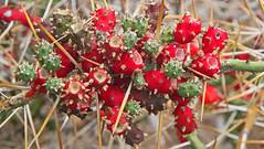 Prickly Pear Opuntia Lanzarote (Lark Ascending) Tags: pricklypear opuntia succulent cactus spines pricky prick lanzarote fruit canaryislands spain