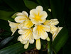 Clivia Blooms (tresed47) Tags: 2017 201701jan 20170112longwoodflowers canon7d chestercounty clivia content flowers folder longwoodgardens macro pennsylvania peterscamera petersphotos places takenby technical us