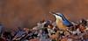 Boomklever - Sitta europaea .... In Explore 31-12-2016 (wimberlijn) Tags: hanbouwmeesterhut4 boomklever sittaeuropaea standvogel zangvogel vogel natuur nuthatch statebird songbird bird wildlife nature animal sunrays5 coth5