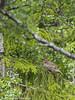 Järpe, Borgafjäll, Lappland, Juni 2017 (Gavia_Stellata) Tags: aves birds fåglar järpe skogsochfälthöns hazelgrouse bonasabonasia