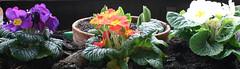 14-IMG_8536 (hemingwayfoto) Tags: blühen blüte blume flora frühblüher frühling frühlingsprimel garten gartenblume gewächs natur pflanze primel primulaveris