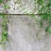 vines:wall0104.JPG