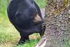 Malaienbär im Ouwehands Dierenpark (Ulli J.) Tags: zoo niederlande nederland netherlands paysbas nederlandene utrecht rhenen ouwehandsdierenpark malaienbär sunbear oursdescocotiers maleisebeer honingbeer malajbjørn