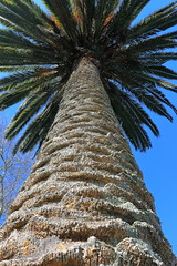 Looking up Palm Tree. Hamilton Lake . NZ. (Explored) (ArtyFx.) Tags: canon eos 1100d efs1855mm f3556 iii