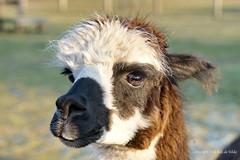Vicugna pacos   ofte  ALPACA (DirkVandeVelde back) Tags: europa europ europe belgie belgium belgica belgique buiten biologie vlaamsbrabant zemst fauna animalia animal chordata mammalia artiodactyla zoogdieren eenhoevigen alpaca lama vicugnapacos sony