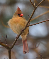 Cardinal rouge ♀ / Northern Cardinal (anjoudiscus) Tags: roseange d800 nikkor300mmf4epf tc14iii cardinalrouge northerncardinal cardinaliscardinalis ♀ oiseau bird nature wildlife sterosalie québec canada janvier 2017 huppe hoopoe