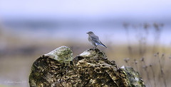 Another Rarities for Vancouver Island (Chantal Jacques Photography) Tags: mountainbluebird wildandfree bokeh sannichtonspit rarities depthoffield birdscape