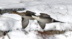 Northern Pintail (Female & Male) (kearneyjoe) Tags: northern pintail duck bowring park stjohns newfoundland