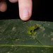 Juvenile glass frog ID needed