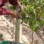 Weinlese in Mendoza, Argentinien