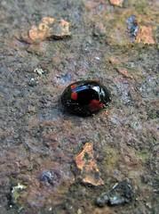 Red On Black (Bricheno) Tags: park macro bug insect scotland glasgow escocia ladybird ladybug szkocja kelvingrove schottland scozia cosse  esccia   bricheno scoia