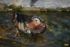 42. Mandarin ducks / утки мандаринки