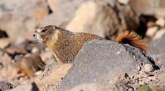 Yellow-bellied Marmot (K Schneider) Tags: marmot yellowbellied marmota flaviventris