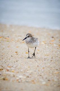 Birds of Sandy Hook - Semipalmated Sandpiper - 2