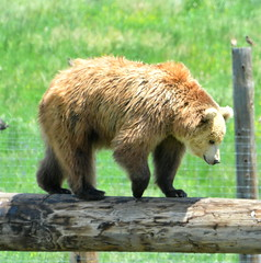 2015 - Balancing Bear (Amy McDaniel) Tags: bear wild sun house color cute home nature beautiful beauty animal animals wall closeup photography zoo cub living photo office amazing bed bath colorado colorful close outdoor room wildlife bears fineart digitalart hunting hidden exotic photograph jungle teddybear plains predator rare animalplanet kodiak blackbear brownbear dcor grizzlybear wildbear wildlifephotography