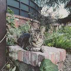 Meow! #cat #walk #active #mylife #mypicture #picture #animal #instagram #instagood #instamex #summer #adventures #inked #pierced #tattooed #me #pasadena #california #thisiscalifornia #mcm June 29, 2015 at 08:53PM (karolalmeda) Tags: california summer pierced me animal june cat walk picture meow 29 pasadena adventures mylife active inked mypicture mcm tattooed 2015 thisiscalifornia instagram ifttt instagood 0853pm instamex