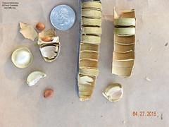 Cassia bakeriana seed pods