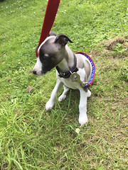 First steps in the big wide world. (john durrant) Tags: dog puppy whippet lookout bitch pup falmouth gazehound