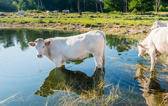 Paddling - Pootjebaden (RuudMorijn-NL) Tags: blue wild summer sky sunlight white lake reflection green nature water netherlands dutch field grass animal animals rural standing season landscape outside mammal outdoors dawn mirror countryside cow pond scenery warm day looking view cows country smooth scenic sunny scene domestic reflect zomer land environment pastoral paddling refreshing fen wit ven tranquil koe witte reflectie windless spiegelbeeld natuurgebied heifer bostaurus windstil strijbeekseheide afkoelen vennetje opfrissen grazers pootjebaden grensgebied wateroppervlak reflecterend spiegelglad verfrissen