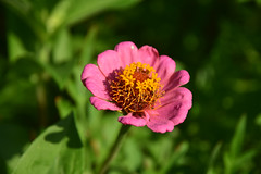 20150721_041_2 (まさちゃん) Tags: 花 ピンクの花