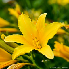Yellow Day Lily (Witty nickname) Tags: flower green calgary nature yellow garden petals pretty lily alberta stamen daylily pollen blooming 2470mm yellowdaylily nikkor2470mmf28 nikond800