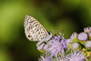 cassius blue on mist flowers (BobRobin) Tags: blues kingfamilycompound mission texas texasbutterflyfestival texasbutterflyfestival2016 butterfly cassiusblue insect