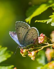 Paatsamasinisiipi (Celastrina argiolus), Holly blue (pohjoma) Tags: hyönteinen paatsamasinisiipi perhonen sinisiipi celastrinaargiolus hollyblue butterfly canoneos5dmarkiii canonef100400mmf4556lisiiusm canonextenderef14xiii naturescall treeofhonor 1000v40f 500v20f nationalbutterflyoffinland finland