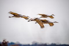Quartet (rvtn) Tags: quartet cranes crane sandhillcrane birds bird birding flight jasperpulaski nature gruscanadensis